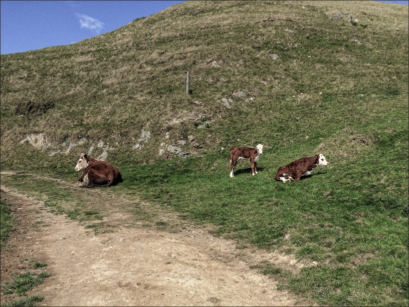 twin calfs