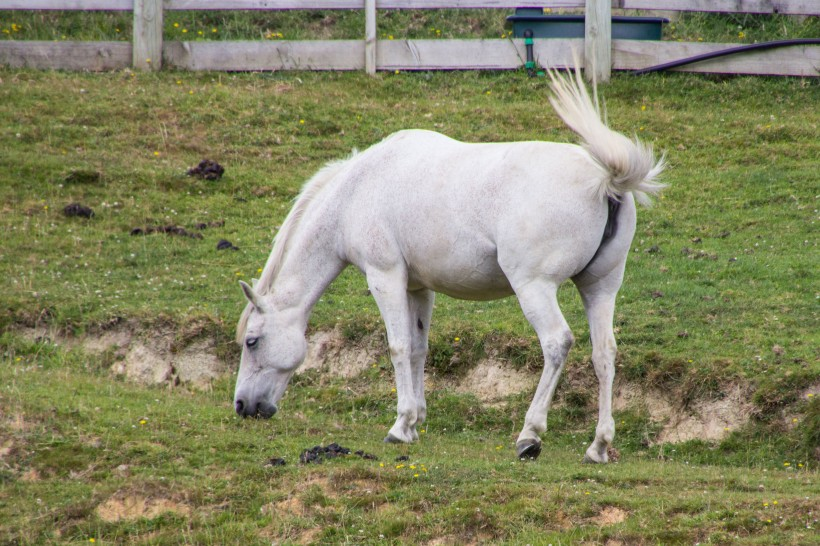 cream coloured pony