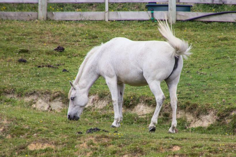 cream coloured pony