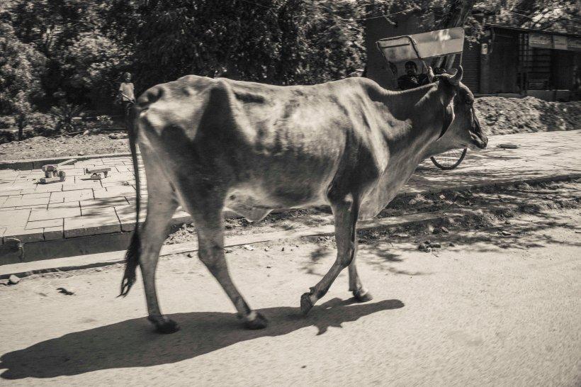 B&W cow