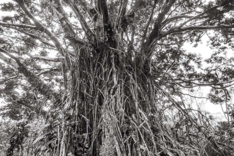 banyain tree